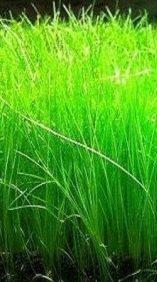 Dwarf hair grass, live